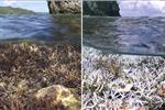 Before and after images of heat-stress related coral bleaching in American Samoa