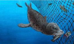 Depredation—when seals and other marine animals prey on fish caught in net—can be costly both