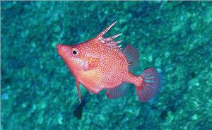 A striking image of Hollardia goslinei. This is a species of deep-water spike fish native to Hawaii.