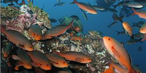 The creolefish (Paranthias furcifer) is a member of the grouper family.