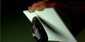 A mussel holds onto a Teflon sheet by a tiny strand. Mussel Polymers Inc.