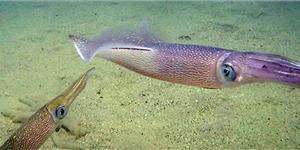 Longfin squid (Doryteuthis pealeii) are an important species in the east coast squid fishery